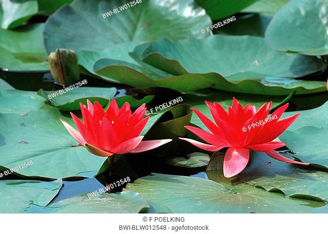 Red Water-lily Nymphaea alba rosea