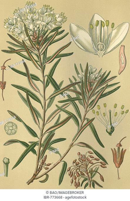 Marsh Labrador Tea (Ledum palustre), aka Northern Labrador Tea or Wild Rosemary, historical chromolithograph dated to 1880