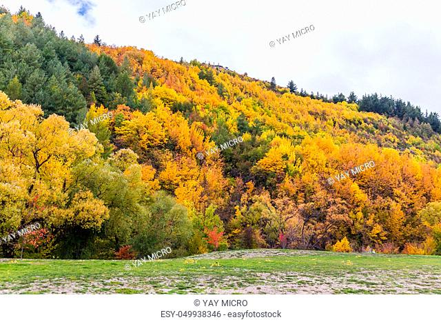 Colorful autumn foliage and green pine trees in Arrowtown, Central Otago, South Island, New Zealand