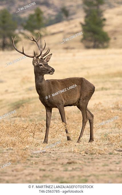 Red deer (Cervus elaphus). Sierra de Guadarrama. Madrrid Province. Spain