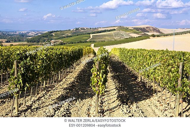 Beautiful vineyard panoramic in Italy