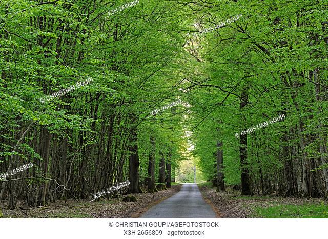 ''Champ des Epines'' forest road, forest of Rambouillet, Yvelines department, Ile de France region