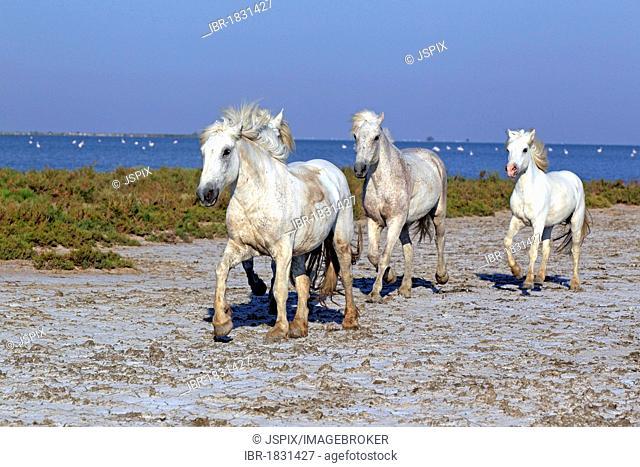 Camargue horses (Equus caballus), Saintes-Marie-de-la-Mer, Camargue, France, Europe
