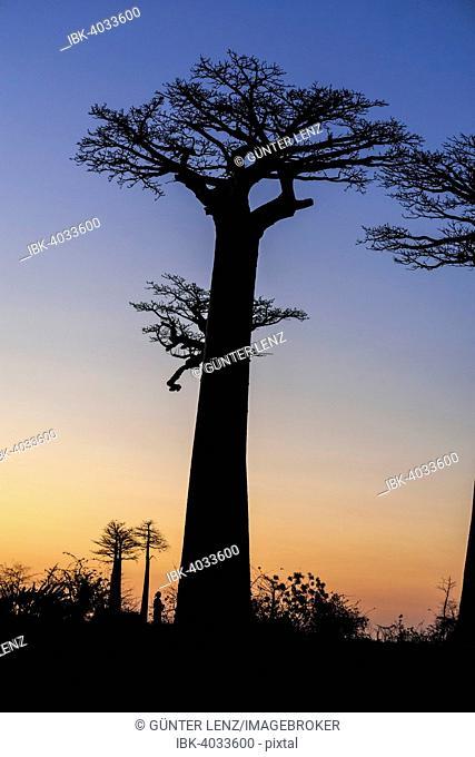 Avenue of the Baobabs, African baobab (Adansonia digitata), at sunset, Morondava, Madagascar