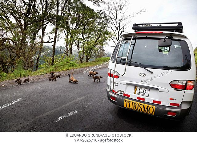 Family Coatis approaching a tourist van on the road, way to the falls of Peace. La Paz Waterfall Gardens, Poás Volcano National Park, Alajuela, Costa Rica