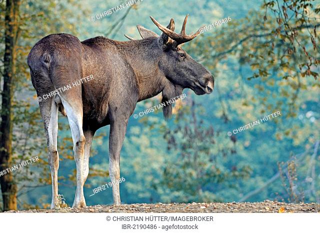 Eurasian Elk (Alces alces alces), bull, in captivity, North Rhine-Westphalia, Germany, Europe
