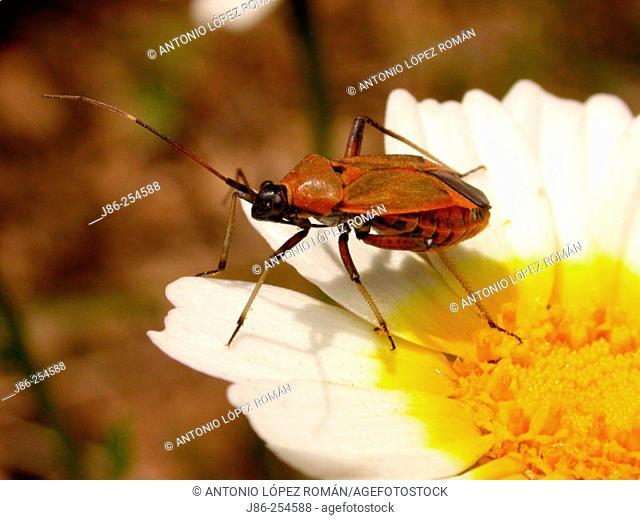 Bug (fam. Miridae)