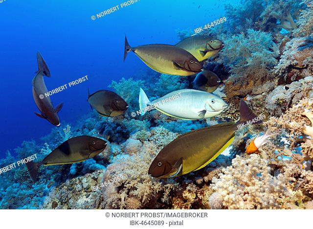 Fish swarm, Bluetail Unicornfish (Naso hexacanthus), various colours, at cleaning station, Bluestreak cleaner wrasse (Labroides dimidiatus), coral reef, Red Sea