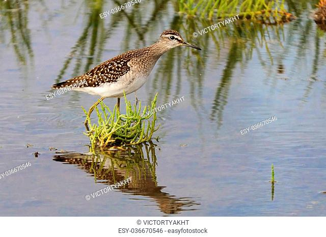 Wood Sandpiper (Tringa glareola) among water grass at the shallow water of Manych lake. Kalmykia, Russia