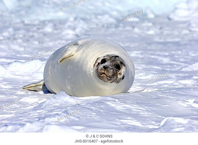 Harp Seal, Saddleback Seal, (Pagophilus groenlandicus), Phoca groenlandica, adult female on pack ice, Magdalen Islands, Gulf of St