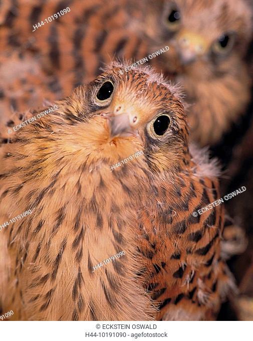 10191090, falcon, kestrel, two, young, birds, portrait, birds, bird