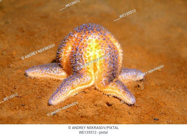 common starfish or common sea star (Asterias rubens) White sea, Karelia, Arctic, Russian Federation