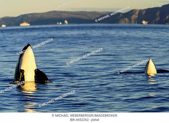 Orcas or killer whales (Orcinus orca), spyhopping, Kaldfjorden, Norway