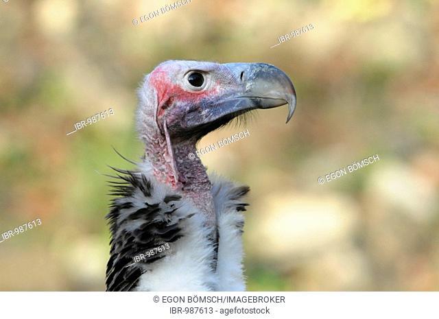 Eurasian Black Vulture (Aegypius monachus), Portrait, Animal Park, Baden-Wuerttemberg, Germany, Europe