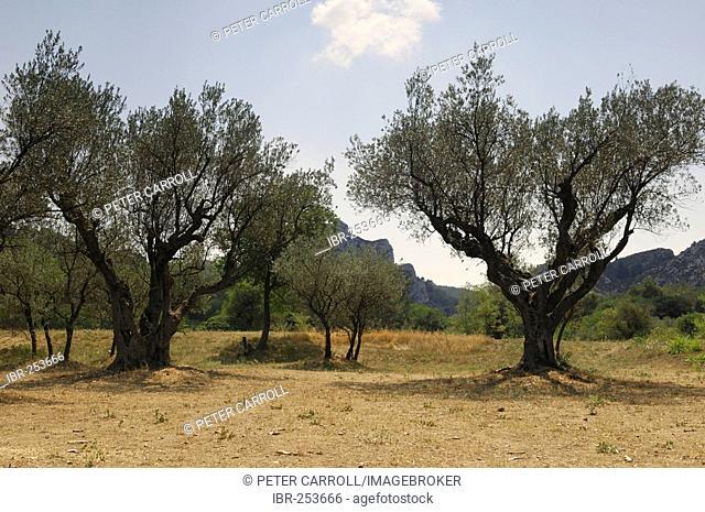 Olive trees near Saint-Remy, Provence, France