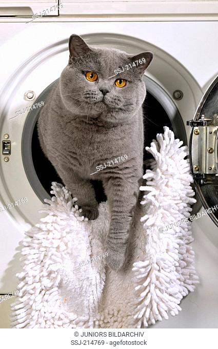 British Shorthair. Blue adult looking out from a washing machine