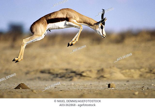 Springbok. Kgalagadi Transfrontier Park, Kalahari. Northern Cape, South Africa