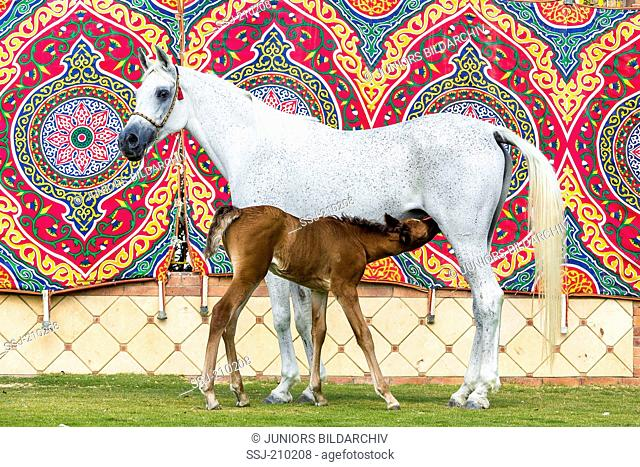 Arabian Horse. Gray mare nursing chestnut foal with a multicolored blanket in background. Egypt