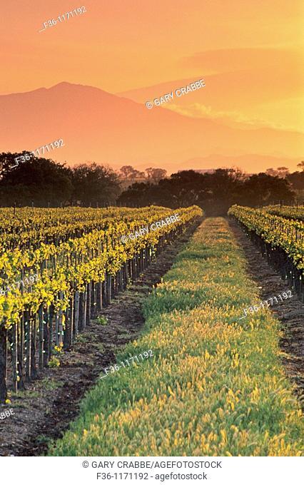 Sunrise over vineyard in spring along Refugio Road, near Santa Ynez, Santa Barbara County, California