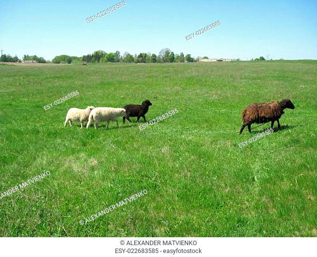 Sheep grazing on a grass