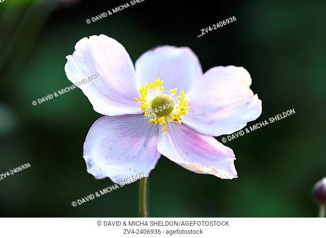 Close-up of a Chinese anemone (Anemone hupehensis) blossom in a garden in summer