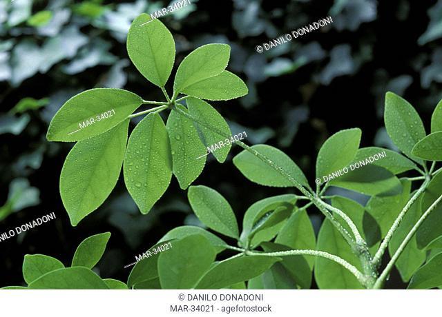 schefflera actinophylla leaves, alzano lombardo, italy