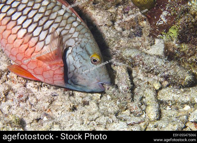 Parrotfish in the Caribbean Sea around Bonaire