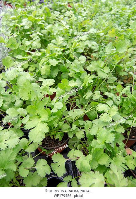 Fresh green cilantro leaves full frame kitchen garden