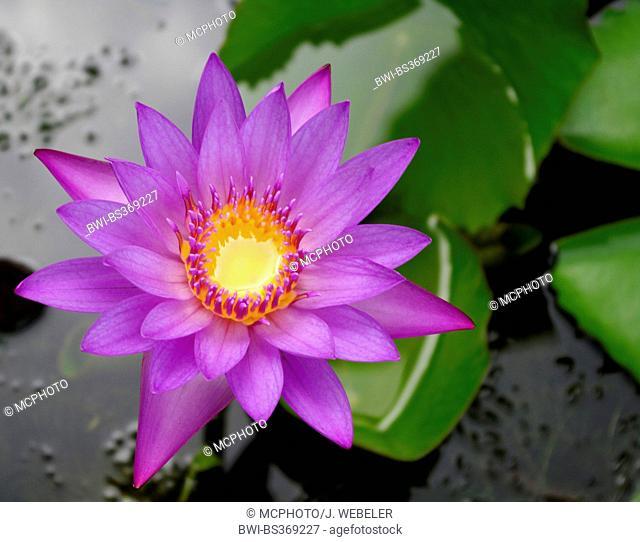 Star lotus (Nymphaea stellata), flower