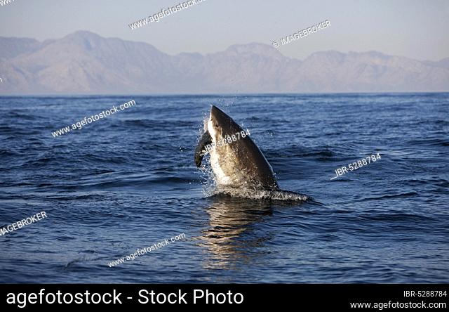 Great white shark (carcharodon carcharias), adult breeding with a kill, a South African fur seal (arctocephalus pusillus), False Bay in South Africa
