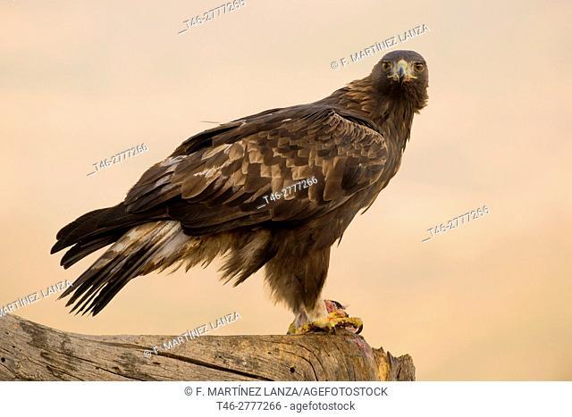 golden eagle or eagle flow (Aquila chrysaetos). Photographed in the Valley Iruelas Avila