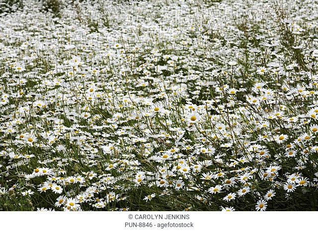 Masses of Oxeye daisies Leucanthemum vulgare growing in summer at Dorset