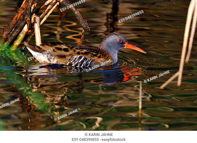 Water rail looking for fish in a pond in autumn