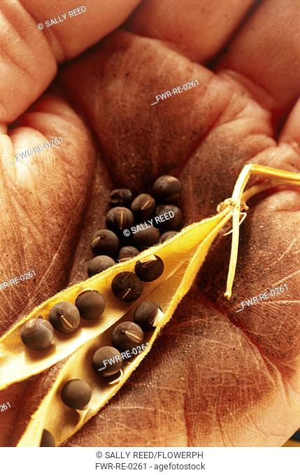 Pisum sativum, Pea
