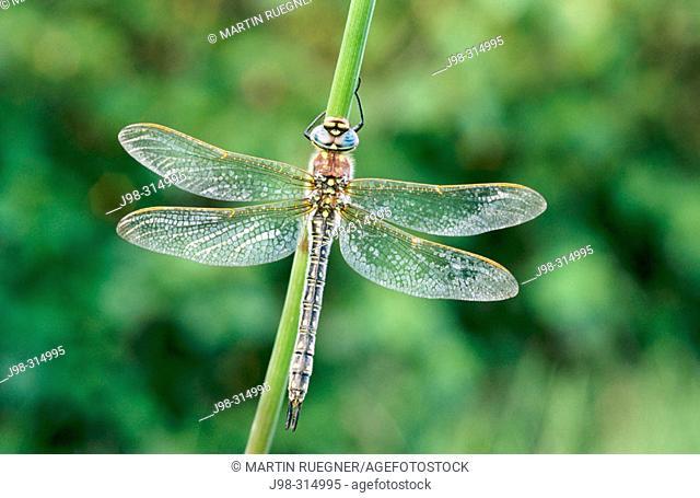 Lesser Hairy Dragonfly (Brachytron pratense). Camargue. Southern France