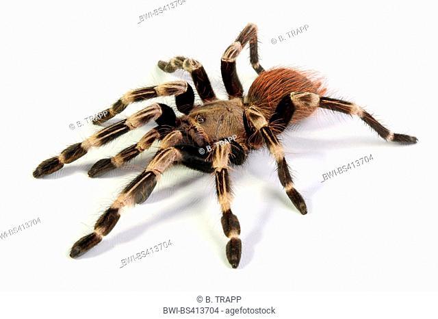 Brazilian red and white tarantula (Nhandu chromatus), cut-out