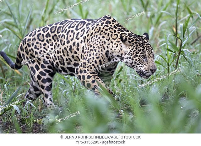 Jaguar (Panthera onca), adult male walking in grass, Pantanal, Mato Grosso, Brazil