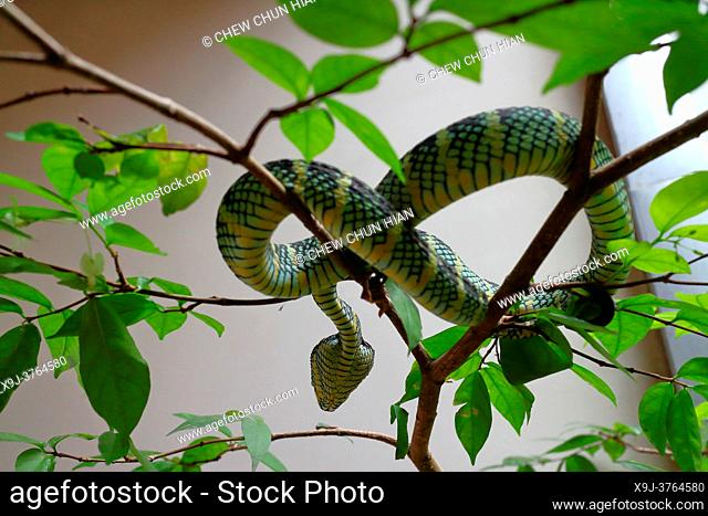 Viper in a tree, the snake temple, Georgetown, Penang, Malaysia