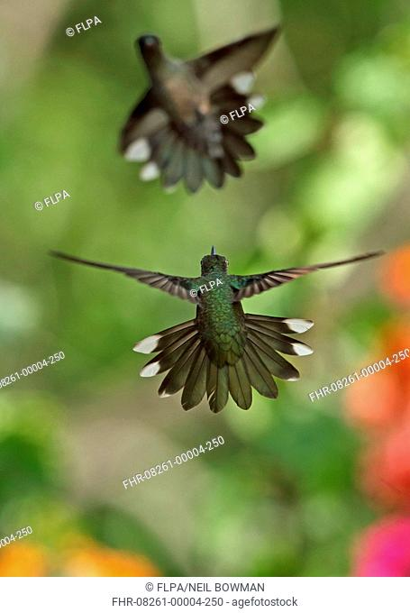 Scaly-breasted Hummingbird (Phaeochroa cuvierii cuvierii) two adults, in flight, fighting, Torti, Panama, April