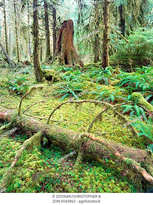 Trees growing in a tight pattern in a dense moss covered forest