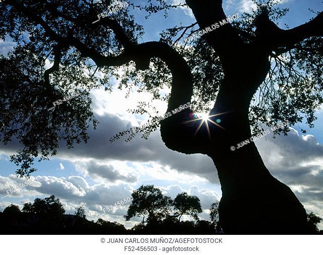 Meadow landscapes. Oak silhouette. Badajoz province. Spain