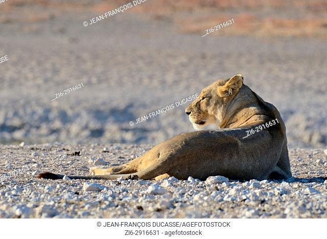 Lioness (Panthera leo) resting on desolate ground at waterhole, morning light, Etosha National Park, Namibia, Africa