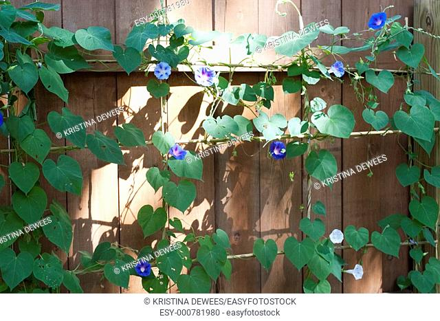 Several different blue and white Morning Glories