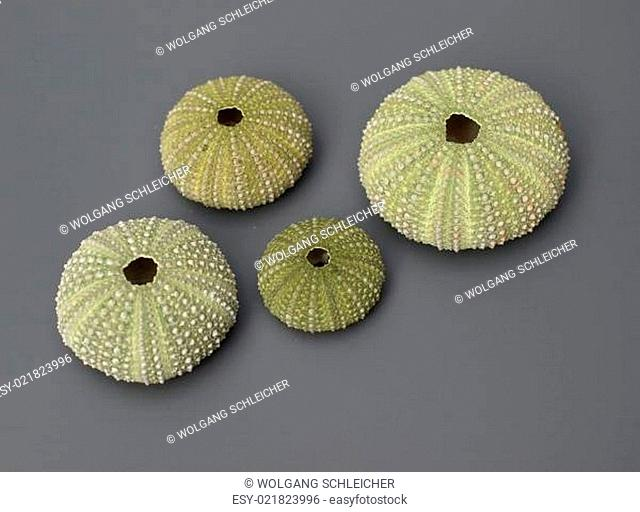 Innere Kalkskelette (Endoskelett) von Seeigeln