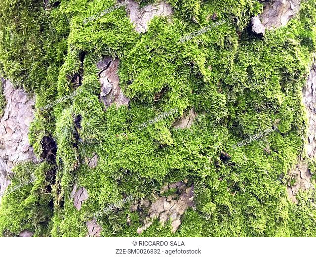 Italy, Lombardy, Green Moss on Trunk. . .