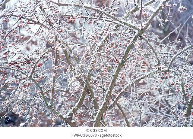 Euonymus europaeus, Spindle Tree