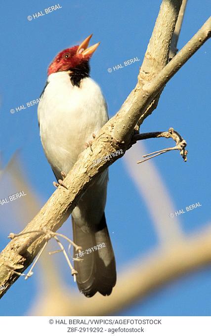 Yellow-Billed Cardinal (Paroaria capitata) Pantanal, Brazil
