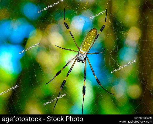 Golden Orb Spider in its web in Cahuita Beach in Costa Rica