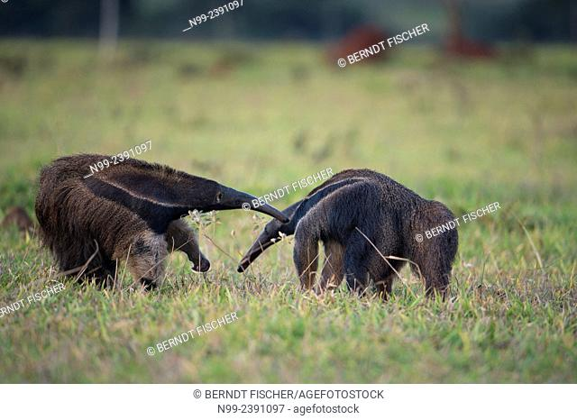 Giant anteater (Myrmecophaga tridactyla), meeting of two solitary animals in grassland, defensive behaviour, Mato Grosso do Sul, Brazil