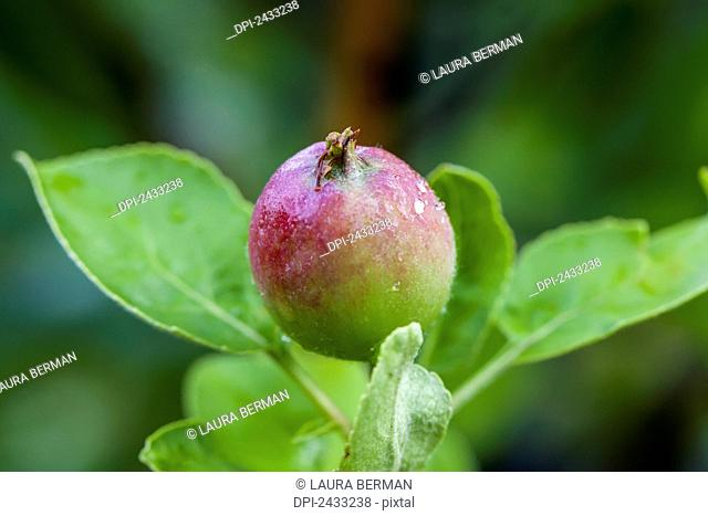 A young Macintosh apple on the tree; Toronto, Ontario, Canada